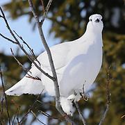 Willow Ptarmigan (Lagopus lagopus) in Wapusk National Park, Manitoba, Canada.