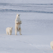 A mother polar bear and her two cubs navigate the newly forming, unstable ice of the Chukchi Sea.
