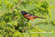 01618-01707 Orchard Oriole (Icterus spurius) male in spruce tree Marion Co. IL