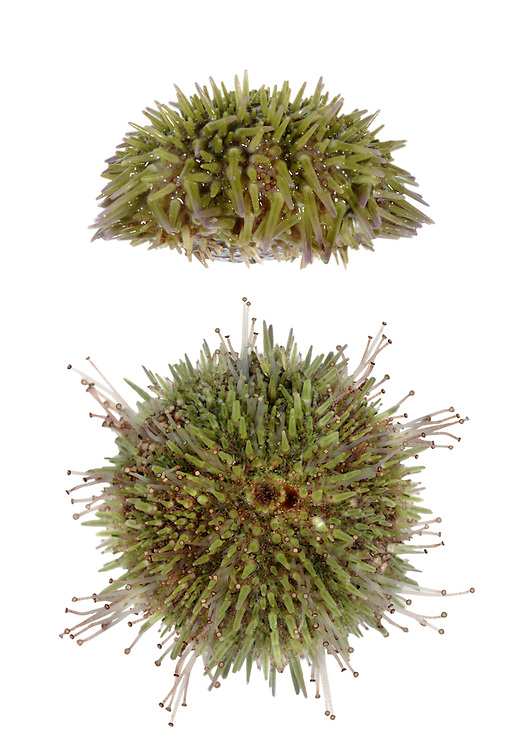 Green Sea Urchin - Psammechinus miliaris