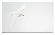 Ivory Gull. Off Svalbard, Norway.  Nikon D4, 200-400mm @ 360mm, f4, EV+2, 1/2000sec, ISO640, Aperture priority