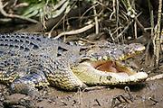 Crocodile in muddy shallows of the Mossman River, Daintree, Australia