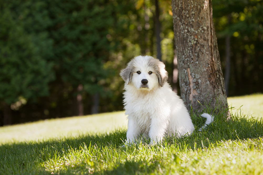 Great Pyrenees Puppy sitting under a tree looking at the camera
