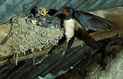 Swallow, Hirundo rustica, at nest with chicks, nesting in roof, feeding nuture, young.