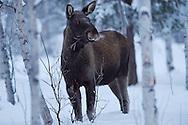 Elk, or Moose, Alces alces, in midwinter light near Nikkaluokta, Lapland, Laponia, Norrbotten county, Sweden