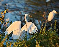 Great Egret (Ardea alba), Snowy Egret (Egretta thula), White Ibis (Eudocimus albus). Black Point Wildlife Drive. Merritt Island National Wildlife Refuge. Image taken with a Nikon D3 camera and 70-200 mm f/2.8 VR lens.
