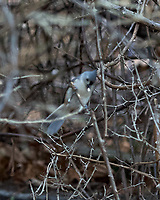 Tufted Titmouse (Baeolophus bicolor). Image taken with a Nikon D2xs camera and 80-400 mm VR lens.