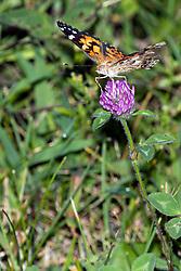 Monarch Butterfly (Danaus plexippus) on a Purple Clover bloom