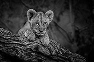 Lion cub perched on a tree studies his surroundings with intense curiosity.