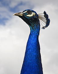 July 21, 2019 - Peacock's Head (Credit Image: © John Short/Design Pics via ZUMA Wire)