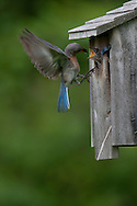 Eastern Bluebird returning to nest box to feed chicks in upstate, NY.