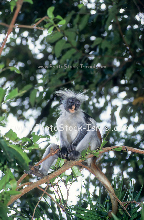 The Zanzibar red colobus (Piliocolobus kirkii), also known as Kirk's red colobus, is endemic to Unguja, the main island of the Zanzibar archipelago. This monkey is mainly a foliovore, which has a preference for young leaves.They also eat leaf shoots, seeds, flowers, and unripe fruit. Certain groups of Colobus have been seen to eat charcoal and it is thought that they do so to aid their digestion of toxins found in certain of the leaves they eat. It is one of the few species that do not eat ripe fruits. Photographed in Zanzibar