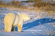 01874-07502 Polar Bear (Ursus maritimus)  Churchill  MB