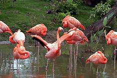 Phoenicopteriformes (Flamingos)