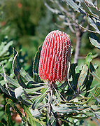 Red Banksia Protea, Maui, Hawaii<br />