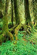 A colonaid of western hemlock trees (Tsuga heterophylla) growing from a nurse log, Hoh Rain Forest, Olympic National Park, Washington
