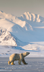 Polar bear (Ursus maritimus) at Akseløya in Belsund, Svalbard, Norway