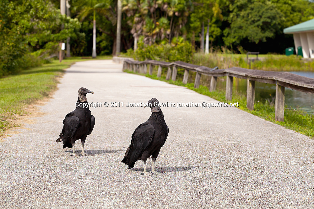 A pair of black vultures (Coragyps atratus) on the Anhinga Trail in Everglades National Park. WATERMARKS WILL NOT APPEAR ON PRINTS OR LICENSED IMAGES.