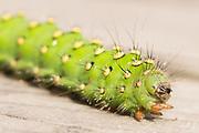 Emperor moth caterpillar (Saturnia pavonia) on boardwalk. Surrey, UK.