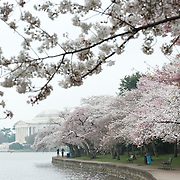 Cherry blossoms in bloom along the western bank of the Tidal Basin in Washington DC, with the Jefferson Memorial in the background, on an overcast day.