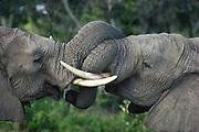Elephant siblings greeting, part of a family group, Serengeti National Park, Tanzania.