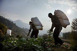 Heavy sacks of potatoes from Durga's farm are taken down the hill to be sold. Most members of the community work on an exchange labor basis. When one family needs help harvesting, family and neighbors come to help with the workload in exchange for food and beverages. It is expected that they will do the same for each of these community members when the time is needed.<br /> <br /> Niruta and Durga were married 9 years ago, when they were just 14 and 16 years old in the Kagati village of Nepal. The 2015 earthquakes devastated Nepal and left girls and women in an increasingly vulnerable position, leading experts to believe child marriage rates will increase over the coming years.