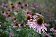 Echinacea flower heads in London, England, United Kingdom. Echinacea is a genus, or group of herbaceous flowering plants in the daisy family. The genus Echinacea has ten species, which are commonly called coneflowers.