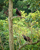 Turkey Vulture. Image taken with a Leica SL2 camera and Sigma 100-400 mm f/5-6.3 DG DN lens