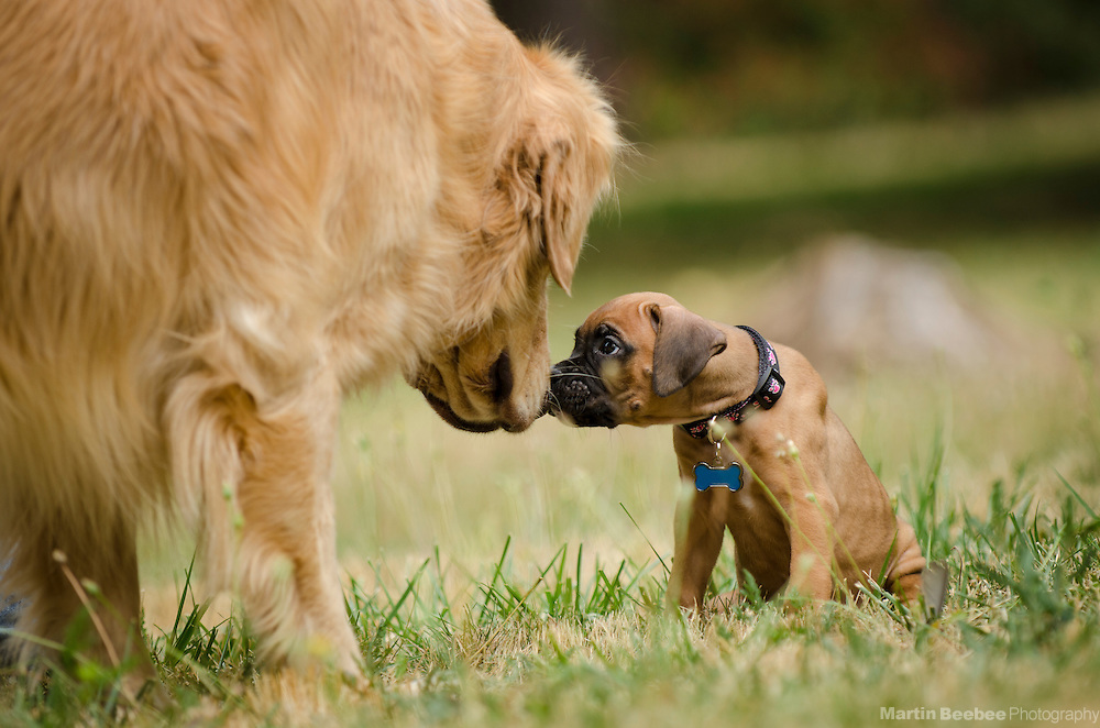 An adult golden retriever meeting a boxer puppy for the first time