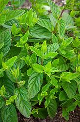 Mentha spicata syn Mentha spicata 'English Lamb Mint', Mentha viridis - Spearmint, Common mint