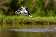 Pied kingfisher (Ceryle rudis) hat Zimanga, South Africa.