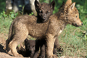 Timber or Grey Wolf, Canis Lupus,  Minnesota USA, controlled situation, pair of cubs standing by den,