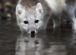 Arctic fox (Alopex lagopus) in water in Spitsbergen, Svalbard