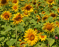 Field of Sunflowers. Image taken with a Leica CL camera and 55-135 mm lens