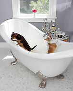 Their Chihuahuas stand in the claw-foot tub in the bathroom of the remodeled farmhouse owned by  Anne-Marie Neville-Volpe and her husband Anthony Volpe in  in Hamptonburgh on Aug. 19, 2010.