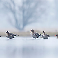 Bean geese in the water