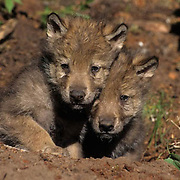 Gray Wolf, (Canis lupus) Pup at den. Rocky mountains. Montana. Captive Animal.