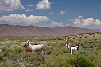 LLAMAS (Lama glama) EN LA PUNA, ADULTOS Y CHULENGOS, PROV. DE JUJUY, ARGENTINA
