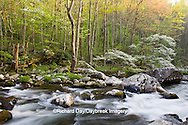 66745-04102 Dogwood trees in spring along Middle Prong Little River, Tremont area, Great Smoky Mountains National Park,TN