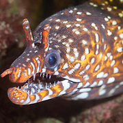 Colorful and charismatic dragon moray eel (Enchelycore pardalis) living among boulders and rock formations off the east coast of the Izu Peninsula in Japan. These charismatic eels are so common in the area that local divers ignore them.