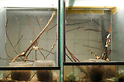 [captive] Rearing of the Golden Silk Orbweaver (Nephila clavipes) at the research facility of Hannover Medical School. | Jungspinnenaufzucht der Goldenen Radnetzspinne (Nephila clavipes) im Forschungstrakt der Medizinischen Hochschule Hannover (MHH).