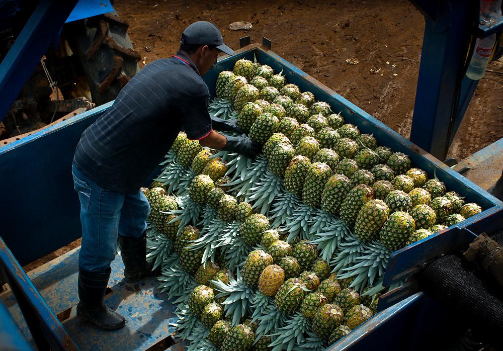 Costa Rica, La Virgen de Sarapiqui, Stacking Picked Pinapples