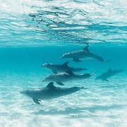 A pod of Bottlenose dolphins (Tursiops truncatus) underwater off Abaco, Bahamas.