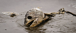 A partially eaten carcass of a dead chum salmon (Oncorhynchus keta) lies on the bank of the Chilkat River in the Alaska Chilkat Bald Eagle Preserve near Haines, Alaska. Bald eagles feed on the salmon as they return to spawn in the river. During late fall, bald eagles congregate along the Chilkat River to feed on salmon. This gathering of bald eagles in the Alaska Chilkat Bald Eagle Preserve is believed to be one of the largest gatherings of bald eagles in the world.