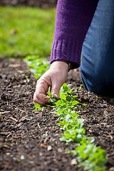 Thinning vegetable seedlings - Turnip 'Milan Purple top'
