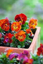 Viola cornuta Angel F1 'Amber Kiss' in a terracotta pot
