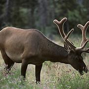Elk bull with antlers in velvet feeding on alfalfa in a clearing. Jasper National Park, Alberta, Canada