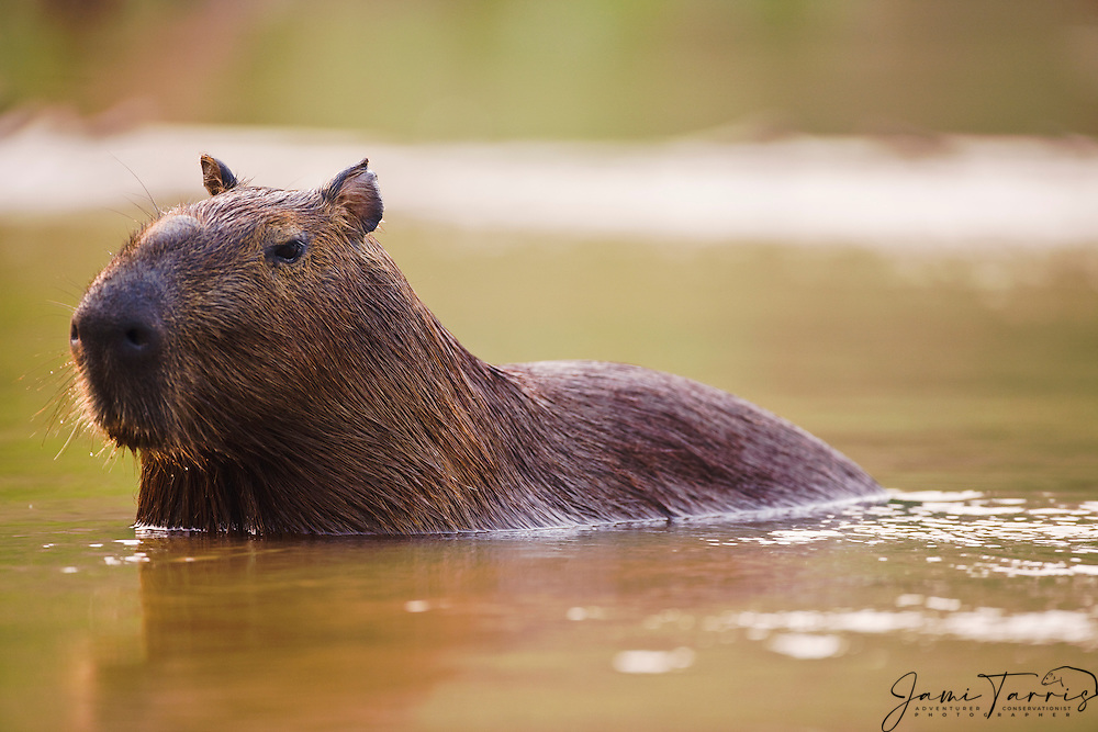 A portrait of a capybara (Hydrochoerus hydrochaeris) sitting in the water, the largest living rodent in the world, Mato Grosso, Pantanal, Brazil