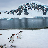 A pair of gentoo penguins walk up a snow-covered hill on Danco Island in Antarctica.