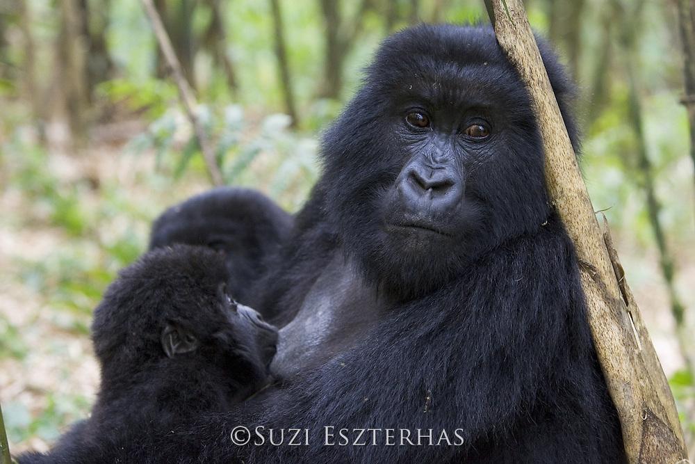 Mountain Gorilla<br /> Gorilla gorilla beringei<br /> 10 month old infant nursing<br /> Parc National des Volcans, Rwanda